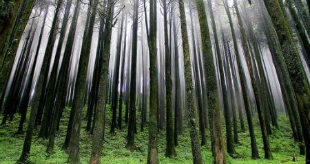 Pine Tree Forest in Kodaikanal